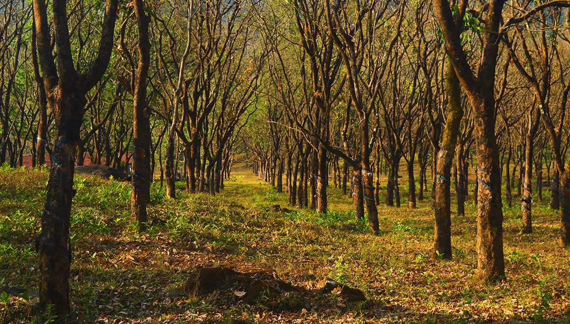 Rubber estates - Sampaje ghat