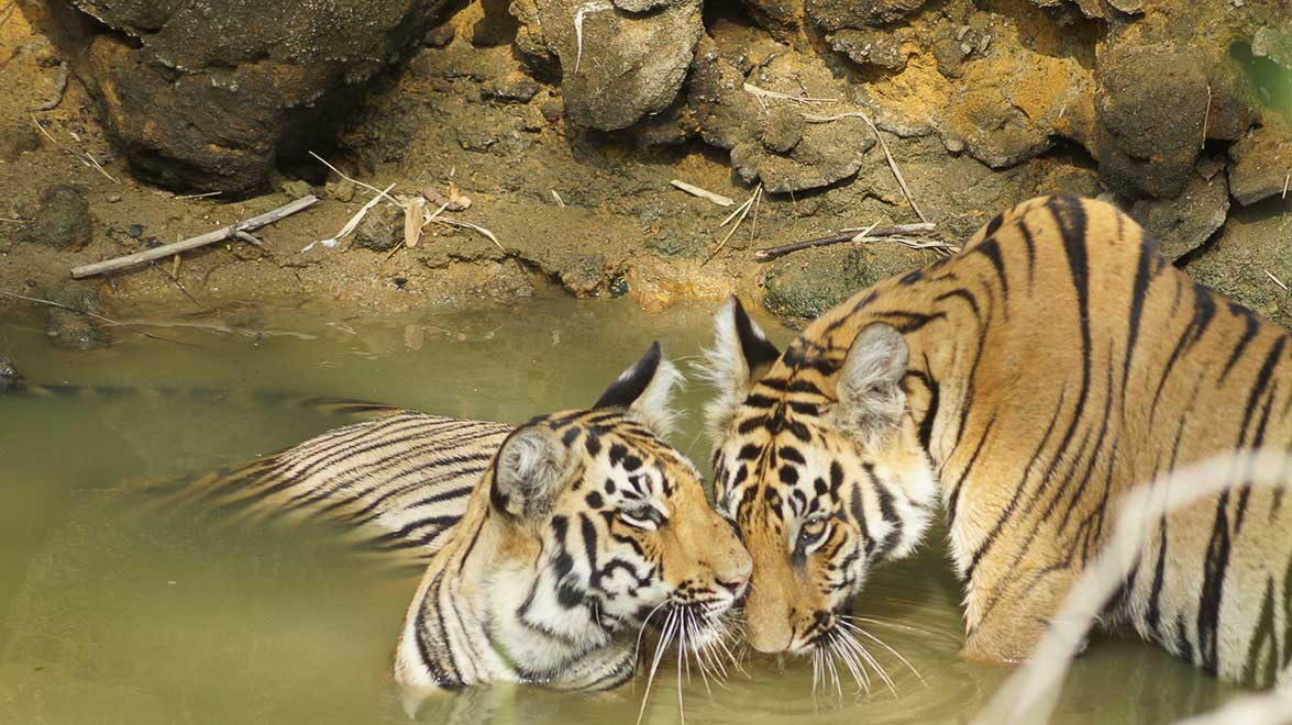 tadoba tiger cubs