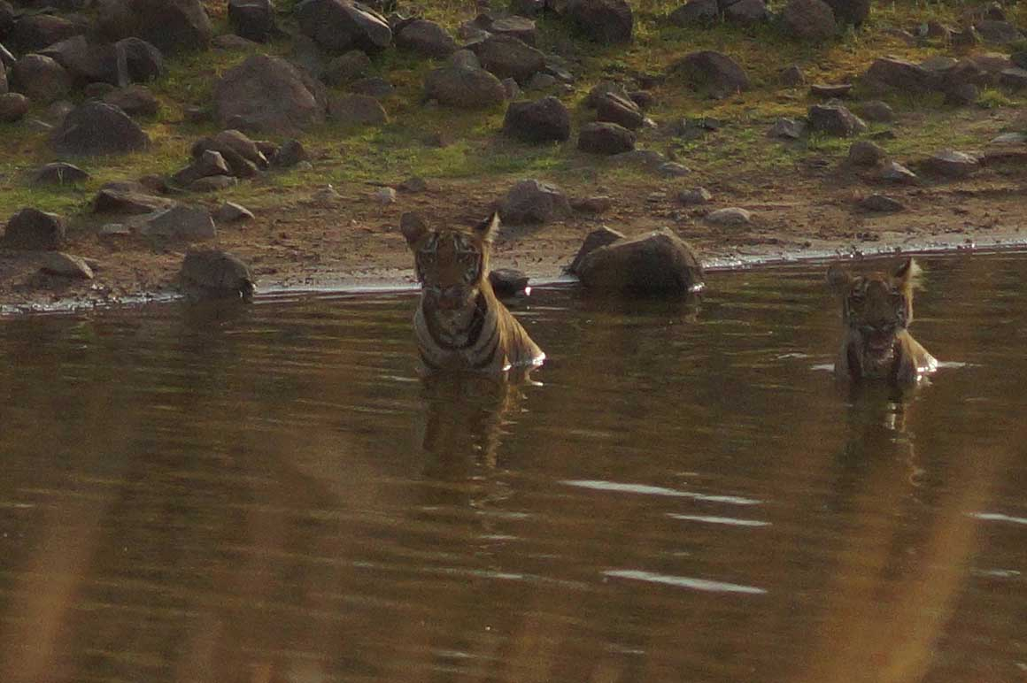tiger cubs bathing